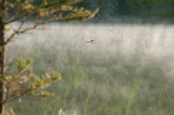 Mist and Loon_Bemidji_8266@72