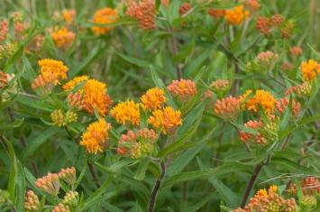 Butterflyweed8517
