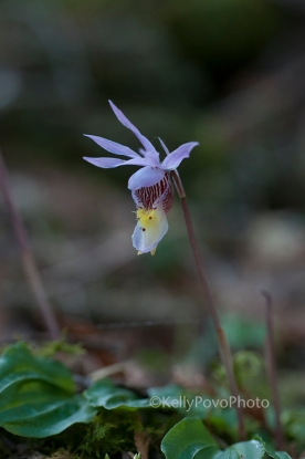 Fairyslipper@72W6445