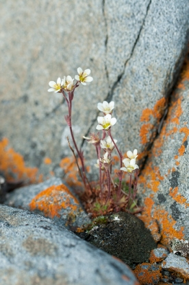 tufted saxifrage@72_9601