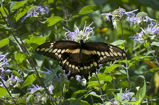 swallowtail@72withword