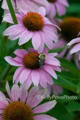 Coneflower@71withbee