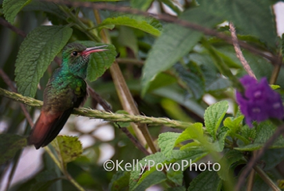 hummingbird@72