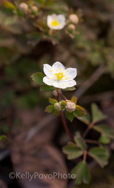 False-rue anemone