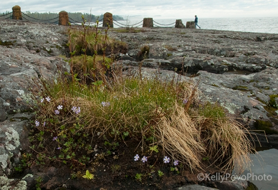 Butterwort and birds eye primrose