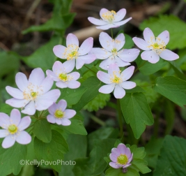 Eastern False-rue Anemone