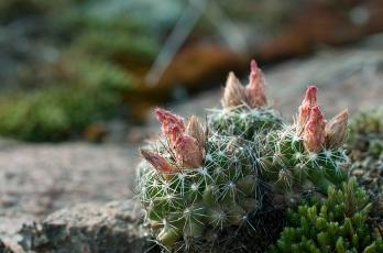 Ball Cactus Budding