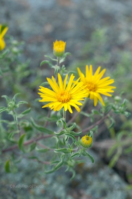 Hairy False Golden Aster