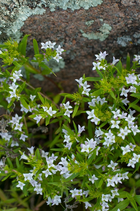 Narrow-leaved bluet