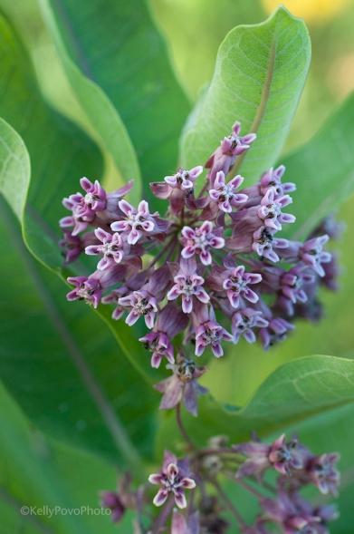 Milkweed, Pin Oak Prairie