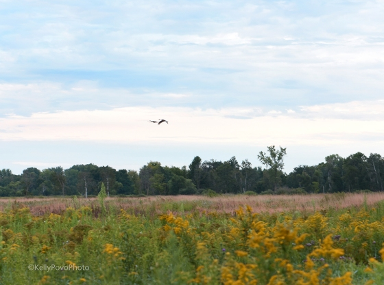 Sandhill cranes in the distance!