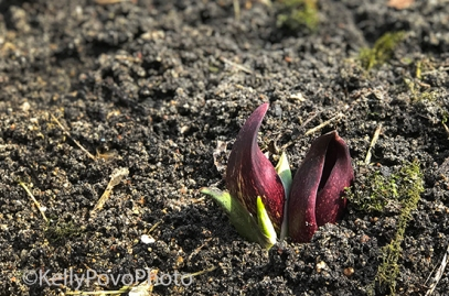 Skunk Cabbage, 9-Mile Creek 2