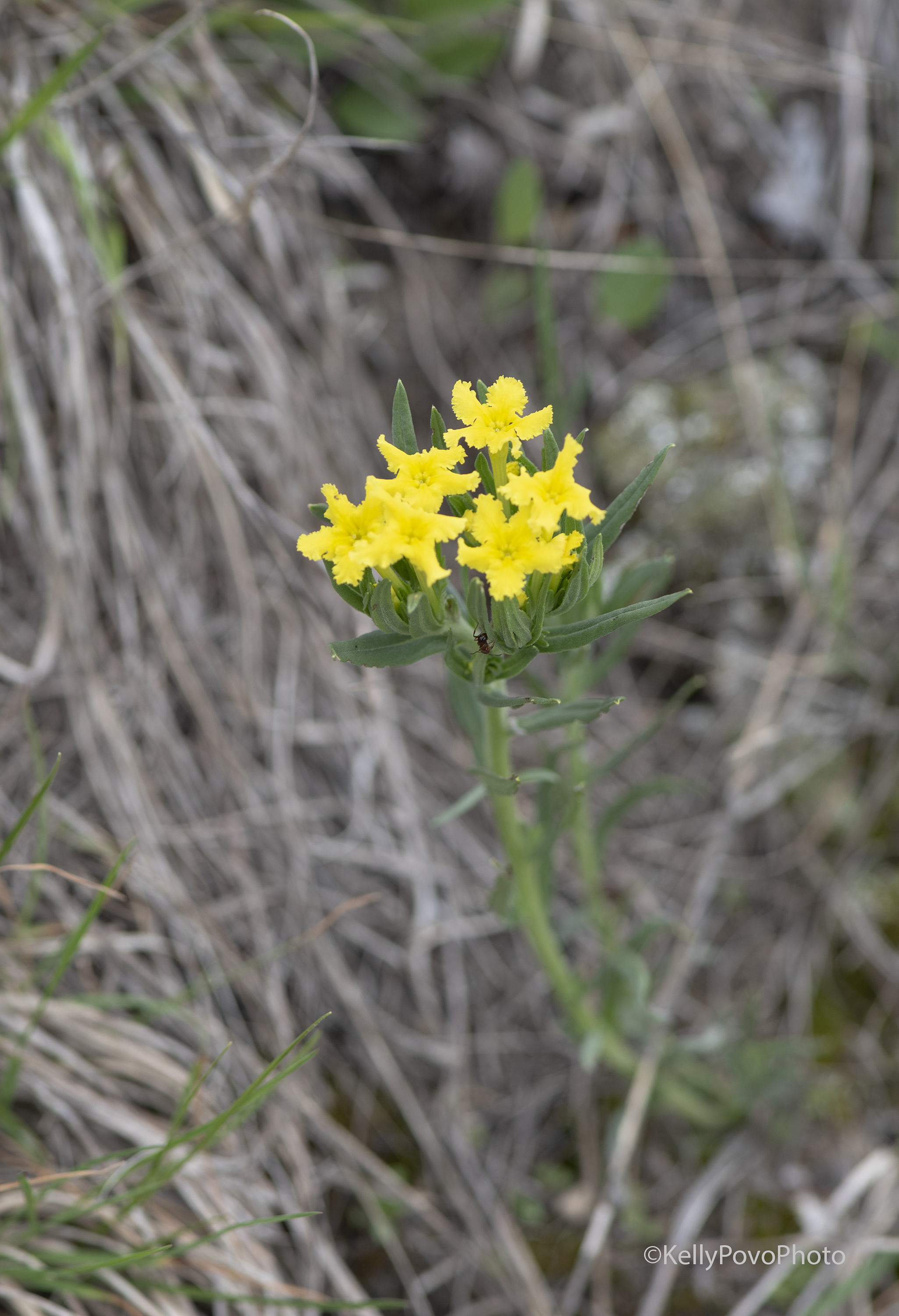Fringed puccoon