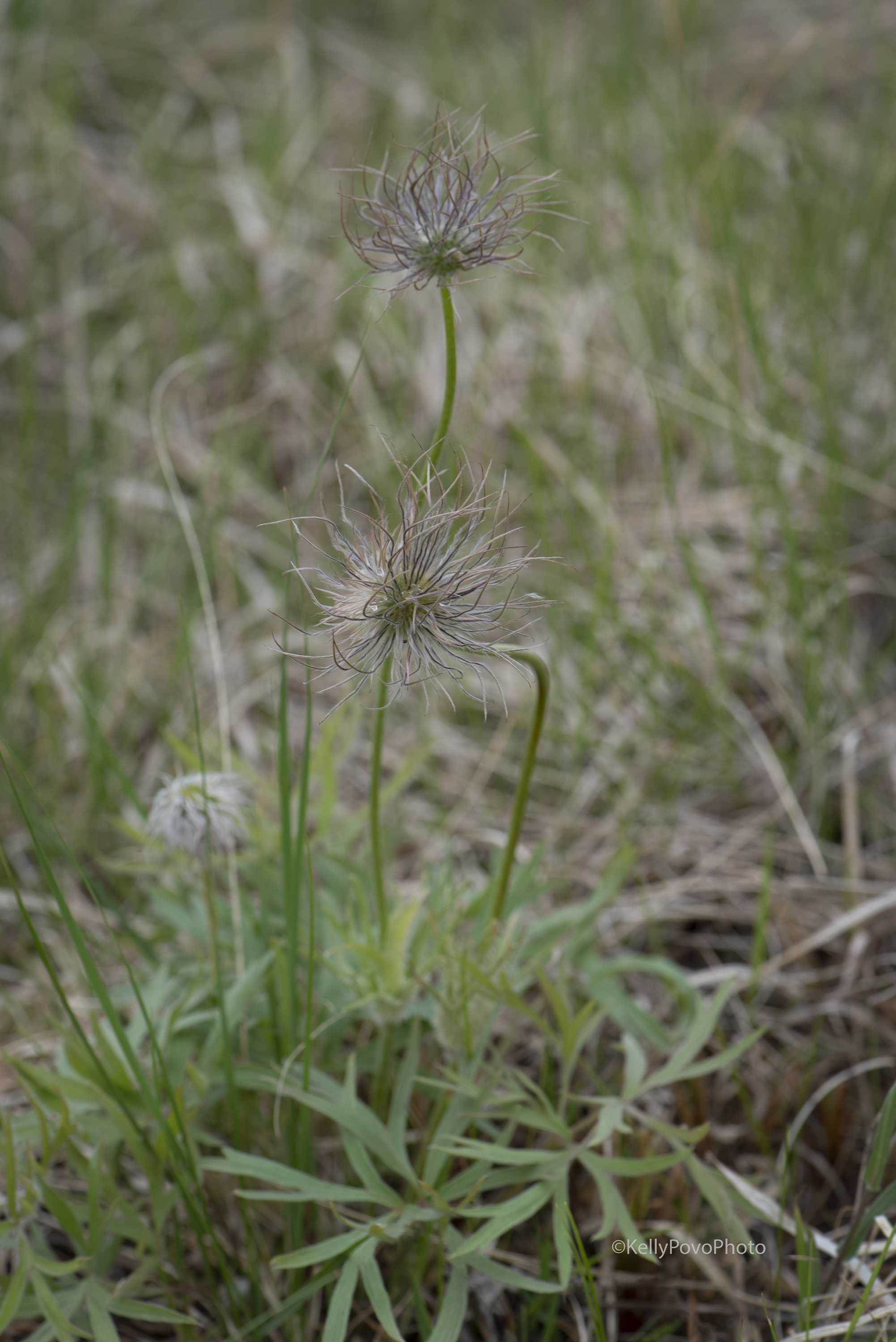 Pasqueflower gone to seed