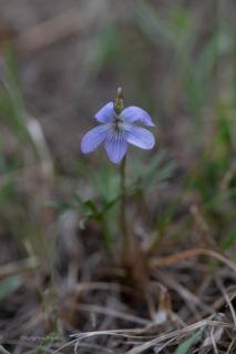 Prairie violet