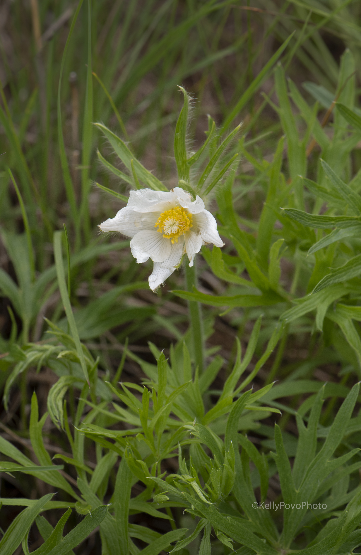 Pasqueflower, June 13, Really?