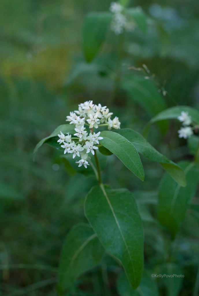 Oval-leaf milkweed
