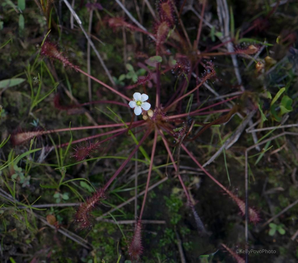 Spoon-leaf sundew in bloom