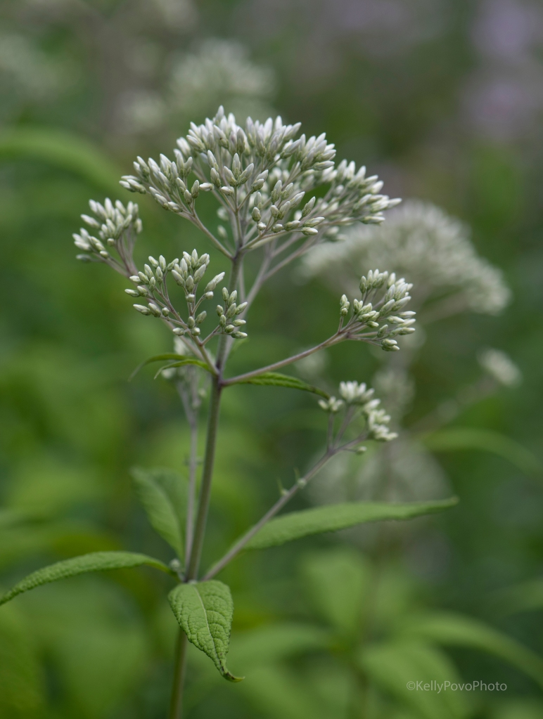 Sweet scented Joe pye weed