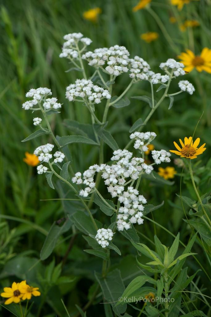 Wild quinine and woodland sunflower