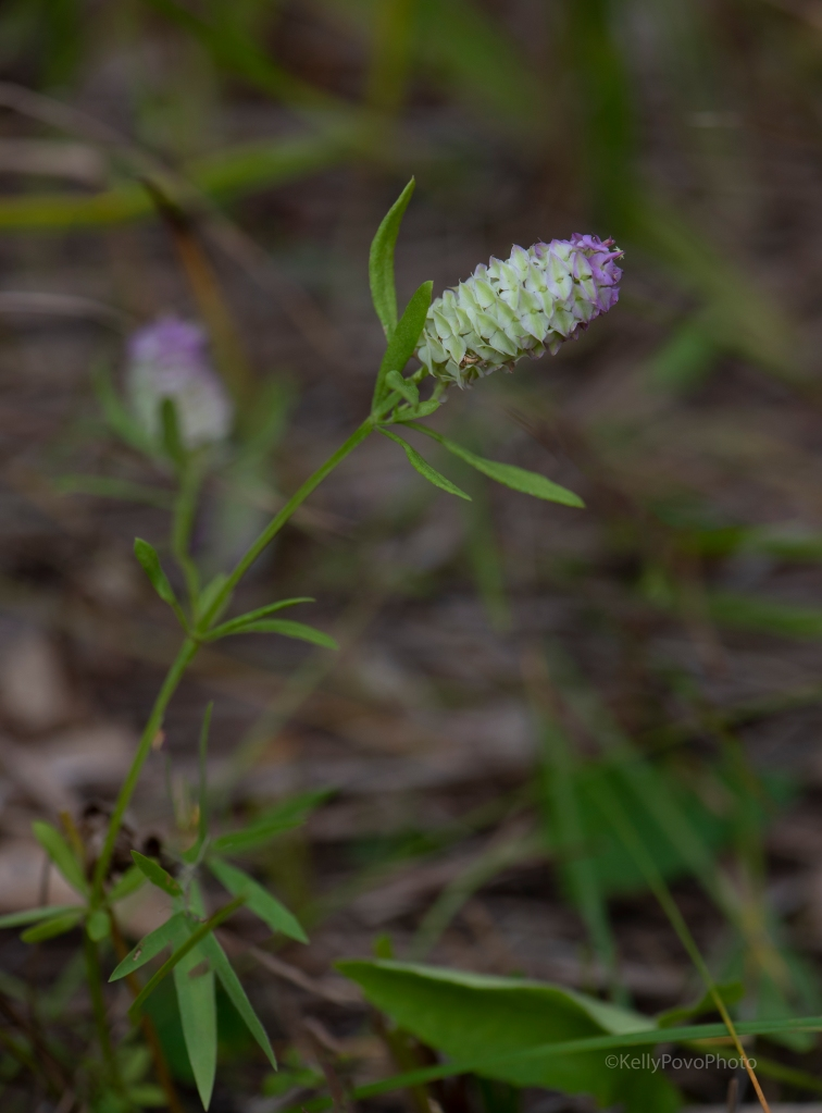 Cross-leaved milkwort