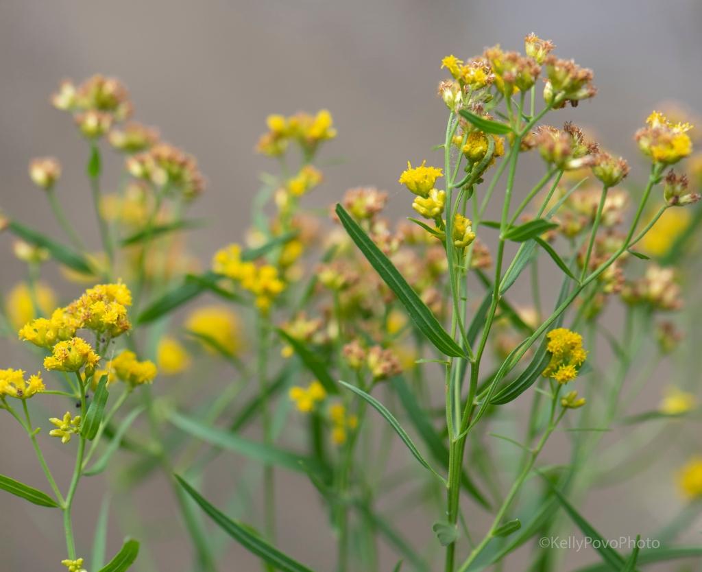 Grass-leaved goldenrod