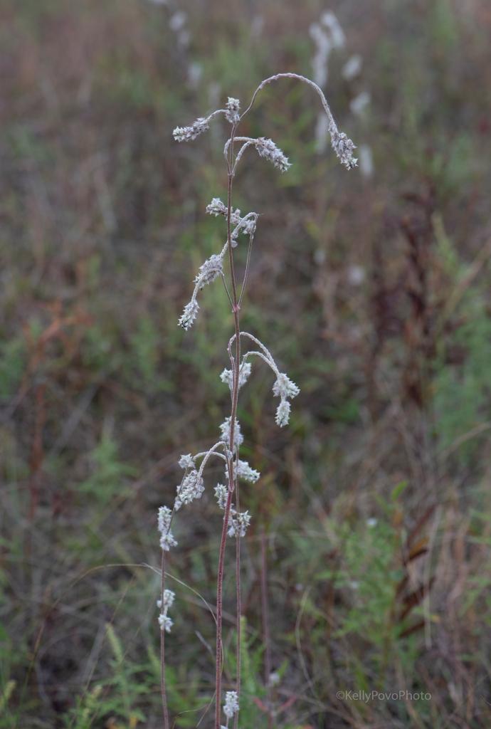 Prairie cottonweed