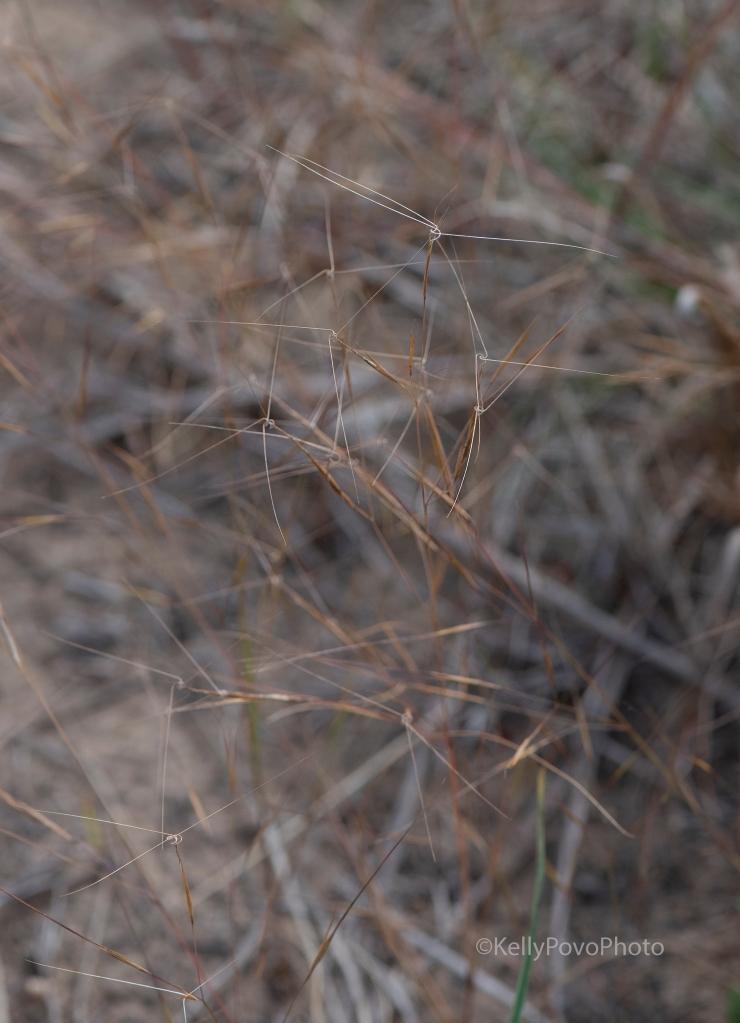 Sea beach needle grass