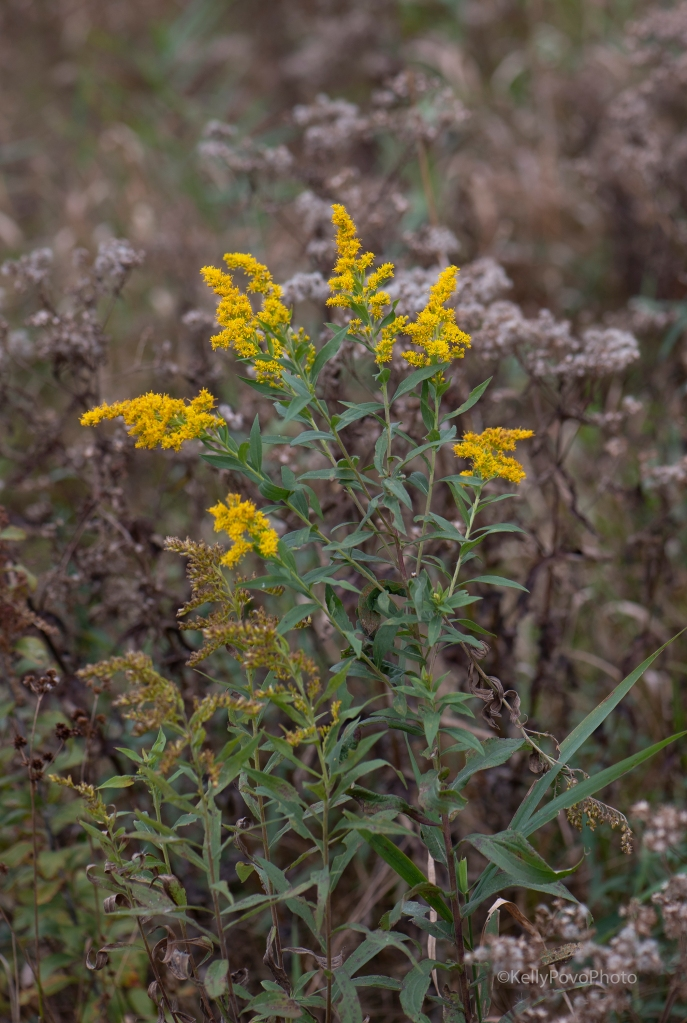Goldenrod, Canada or Tall?