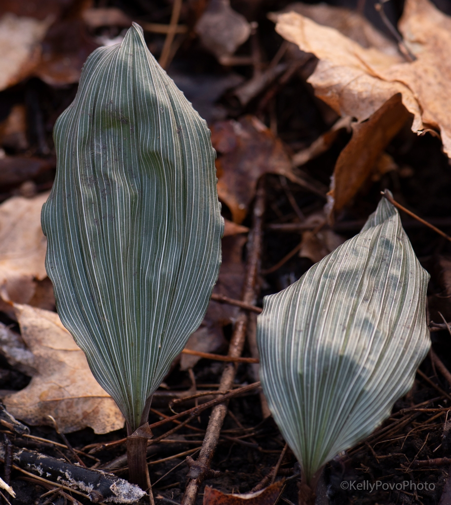Putty-root orchid leave